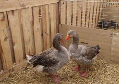 Animaux-Canard-Foire-de-Brignoles